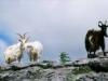 burren_feral_goats